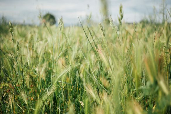 Grüne Getreidewiese